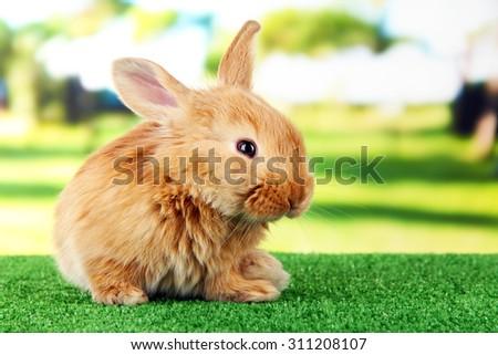 Fluffy foxy rabbit on grass in park - stock photo