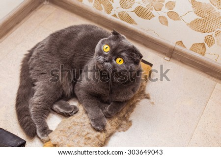 fluffy gray beautiful adult cat, breed scottish-fold - stock photo