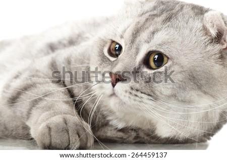 fluffy gray beautiful adult cat, breed scottish-fold,  close up  portrait , on white background, isolated - stock photo