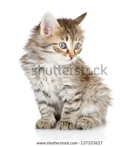 fluffy gray beautiful kitten looking away. isolated on white background - stock photo