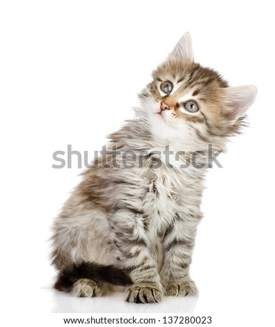 fluffy gray beautiful kitten looking up. isolated on white background - stock photo