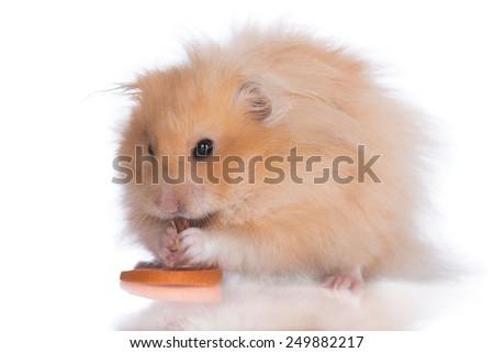 fluffy hamster eating snacks - stock photo