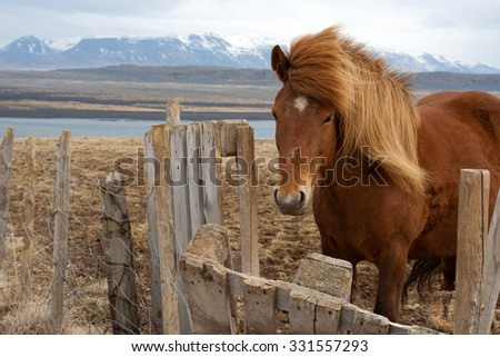 Fluffy Icelandic horse - stock photo