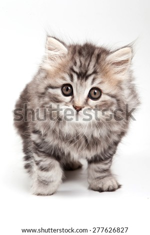 fluffy kitten (isolated on white) - stock photo