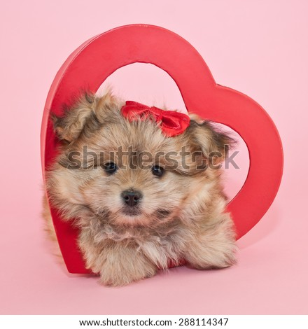 Fluffy little puppy laying inside a red heart with a red bow in her hair on a pink background. - stock photo