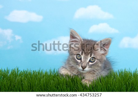 Fluffy long haired gray tabby kitten in tall grass with blue sky background white fluffy clouds. - stock photo