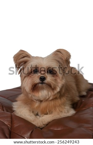fluffy mixed breed dog with depression face laying down in leather pad in white background - stock photo