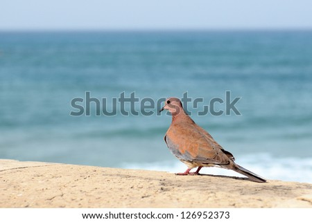 fluffy mourning dove perched on a pier - stock photo