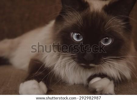 Fluffy Neva Masquerade cat lying on sofa indoor, close-up - stock photo