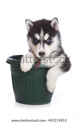 Fluffy Puppy Husky dog with blue eyes in a pot (isolated on white) - stock photo