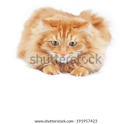 fluffy red  cat  isolated on white background - stock photo