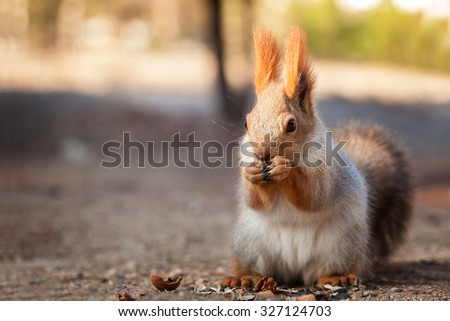 Fluffy red squirrel eats nuts - stock photo