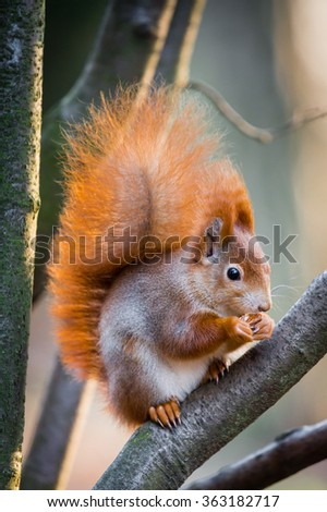 Fluffy red squirrel with winter fur sitting on the branch - stock photo