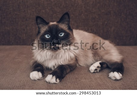 Fluffy Siamese cat with blue eyes lying on sofa indoor, cat looking at camera - stock photo