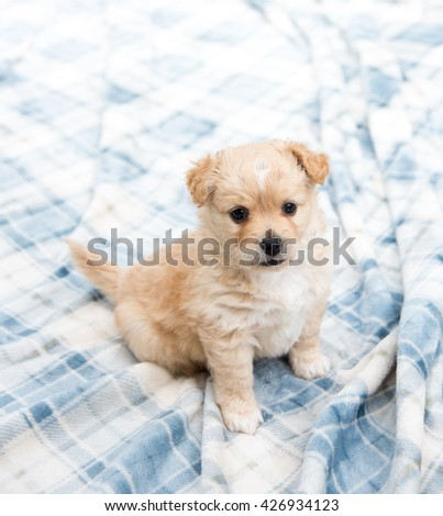 Fluffy Tan Colored Terrier Mix Puppy Sitting Outside on Blanket - stock photo