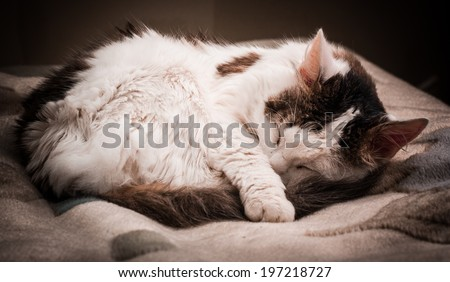 Fluffy white cat with gray spots on the fur asleep , curled up - stock photo