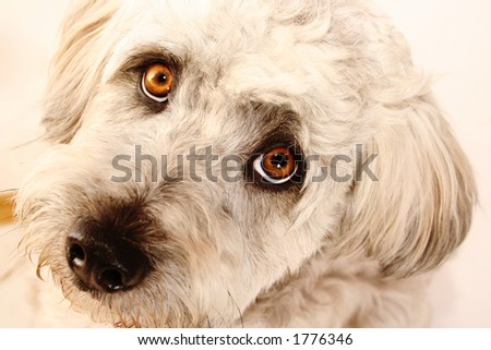 Fluffy white dog looking straight into the lens.  Shallow D.O.F. - eyes in focus, nose out of focus. - stock photo