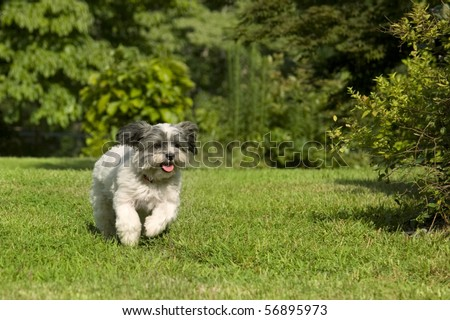 Fluffy white dog with floppy ears running in the yard - stock photo
