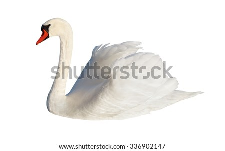 Fluffy white swan, isolated on white surface. - stock photo