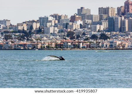 Fluke of Gray Whale a critical endangered species making an unusual appearance in San Francisco Bay with city skyline in background - stock photo