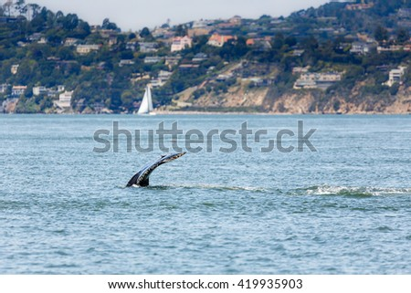 Fluke of Mother Gray Whale and baby, critically endangered species, a very unusual occurrence in San Francisco Bay - stock photo