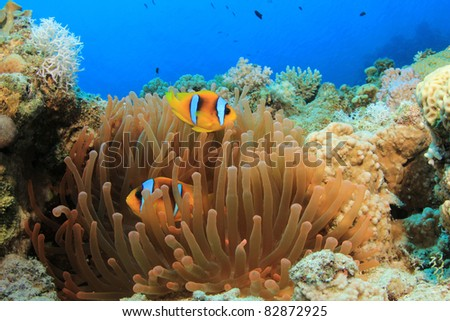 Fluorescent Red Anemone and Pair of Clownfish (Red Sea Anemonefish) - stock photo