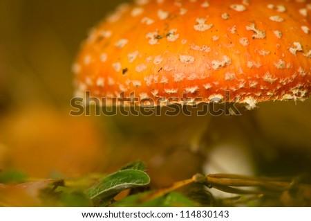 Fly agaric, Amanita muscaria - stock photo