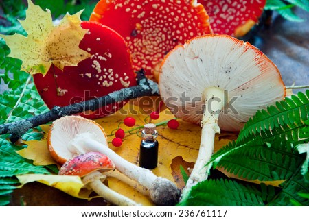 Fly agaric, mushrooms, amanita muscaria toadstools - stock photo