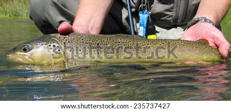 fly fishing for brown trout - stock photo