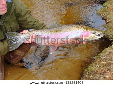 Fly fishing - Man holding a huge salmonid (steelhead or ocean run rainbow trout) caught fly fishing in a river, prior to release - stock photo