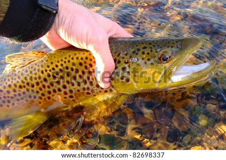 Fly fishing - Releasing a Brown Trout on the White River of Arkansas - stock photo