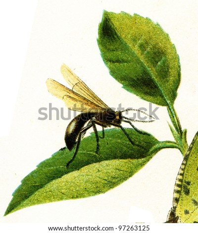 """fly, imitating biting insects - an illustration t article """"Mimicry"""" of the encyclopedia publishers Education, St. Petersburg, Russian Empire, 1896 - stock photo"""
