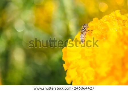 fly on Marigold flowe in the morning ,macro photography - stock photo