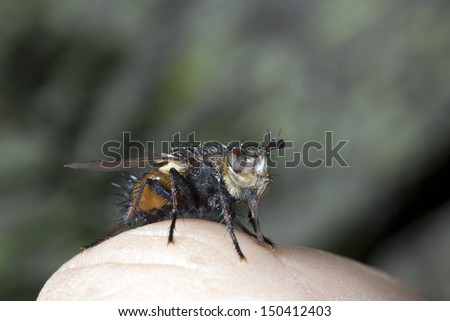 Fly on the knuckle of a finger, macro. - stock photo
