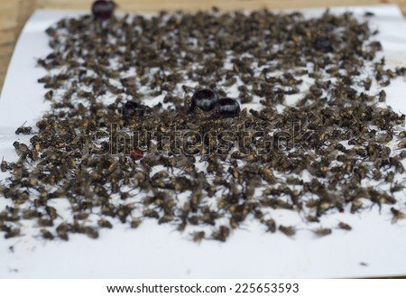 Fly trap with grapes - stock photo