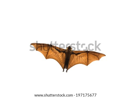Flying bat (Lyle's flying fox) isolated on white background. - stock photo