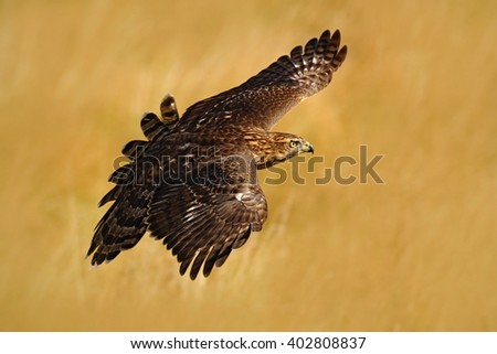 Flying bird of prey Goshawk, Accipiter gentilis, with yellow summer meadow in the background, bird in the nature habitat, action scene, Germany - stock photo