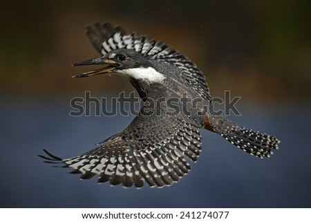 Flying bird Ringed Kingfisher above blue river with open bill in Brazil Pantanal - stock photo