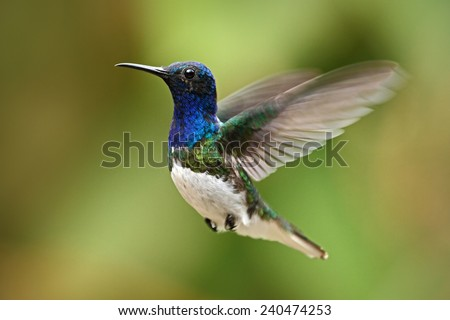 Flying blue and white hummingbird White-necked Jacobin from Ecuador - stock photo