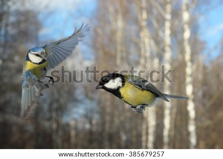 Flying Blue Tit (Parus caeruleus) and Great Tit (Parus major) in winter. Moscow region, Russia - stock photo