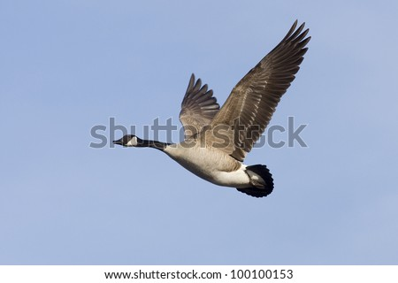Flying Canada Goose - stock photo