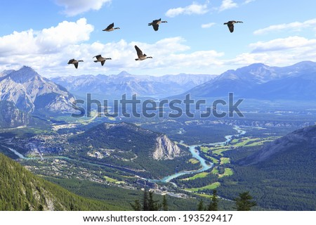 Flying Canadian geese over Bow river valley with the golf courses against Rocky Mountains. Banff National Park. Alberta. Canada - stock photo