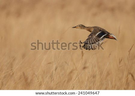 Flying duck - stock photo