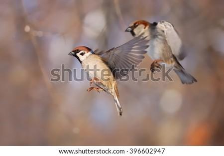 Flying Eurasian tree sparrow (Passer montanus) - stock photo