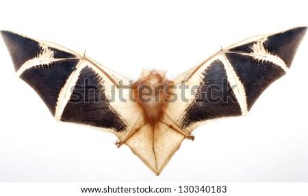 Flying Fox,  Asian Fruit  Bat on white background - stock photo