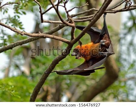 Flying fox bat - stock photo