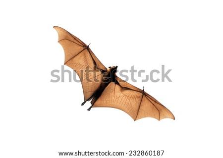 Flying fox isolated on white background - stock photo