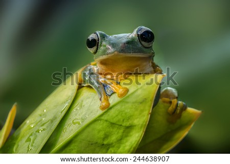 Flying frog - stock photo
