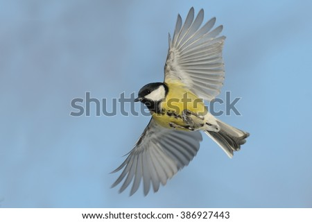 Flying Great tit (Parus major) against blue sky background - stock photo