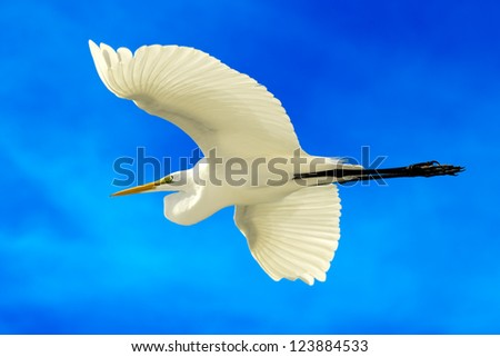 flying Great White Egret with blue sky background - stock photo